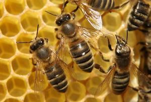 دانلود پاورپوینت الگوريتم كولوني  زنبور عسل